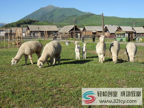 羊驼养殖致富