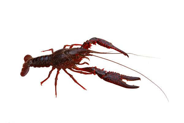一亩龙虾一年赚多少钱