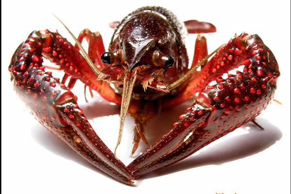 小龙虾养殖加盟哪个好